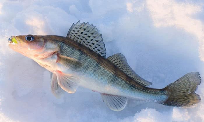 Наша рыба: Судак - Рыбалка в Санкт-Петербурге и Ленинградской области